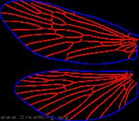 Arctopsyche ladogensis, female, wings