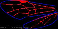 Aulacidae, wings