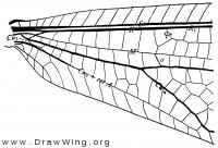 Balaga micans, base of fore wing