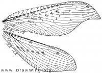 Berotha insolita, wings