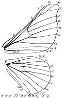 Bombyx mori, wings