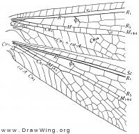 Brachynemurus longipalpus, base of fore wing