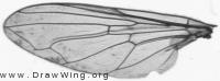 Brachyopa pilosa, wing