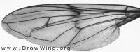 Brachypalpus laphriformis, wing