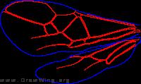 Meteoridiinae, wings