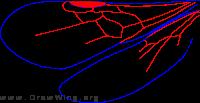 Chyphotinae, wings