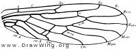 Capnia, fore wing