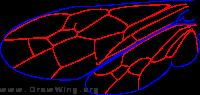 Cephidae, wings
