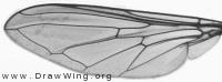 Cheilosia pagana, wing