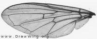 Cheilosia vernalis, wing