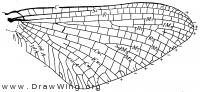 Chirotonetes albomanicatus, fore wing