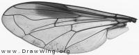 Chrysotoxum bicinctum, wing