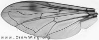 Chrysotoxum festivum, wing