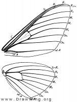 Citheronia regalis, wings