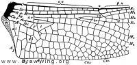 Cordulegaster sayi, base of hind wing