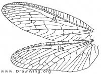 Corydalus primitivus, wings