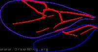 Cynipidae, wings