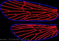 Cyrnellus fraternus, wings