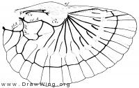 Dermaptera, hind wing