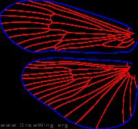 Discosmoecus atripes, wings