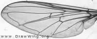 Epistrophe eligans, wing