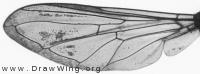 Epistrophella euchroma, wing