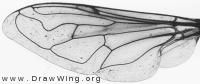 Eristalinus aeneus, wing