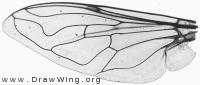 Eristalis arbustorum, wing