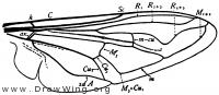 Eristalis, wing
