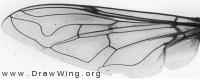 Eristalis pertinax, wing