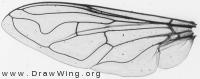 Eristalis tenax, wing