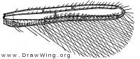 Erythrothrips arizonae, fore wing