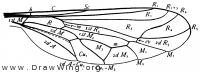 Eulonchus, wing
