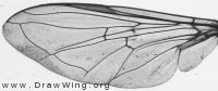 Eupeodes corollae, wing