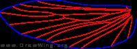 Farula jewetti, male, hind wing