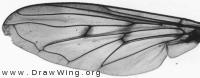 Ferdinandea cuprea, wing