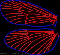 Hagenella canadensis, male, wings