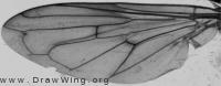 Hammerschmidtia ferruginea, wing