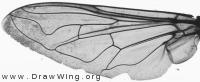 Helophilus hybridus, wing