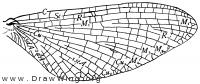 Heptagenia interpunctata, wing