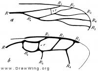 Hymenoptera, radius