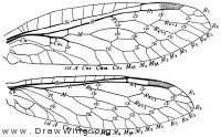 Inocellia longicornis, wings