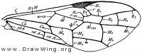 Janus abbreviatus, fore wing