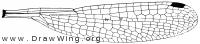 Lestes rectangularis, wing