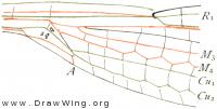 Lestes rectangularis, base of fore wing