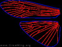 Macronema zebratum, wings
