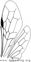 Megalodontidae, wings