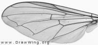 Melanostoma mellinum, wing