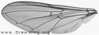 Melanostoma scalare, wing