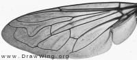 Merodon equestris, wing
